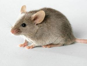 File picture of a mouse.