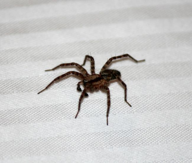 A generic picture of a house spider. Picture: Pixabay