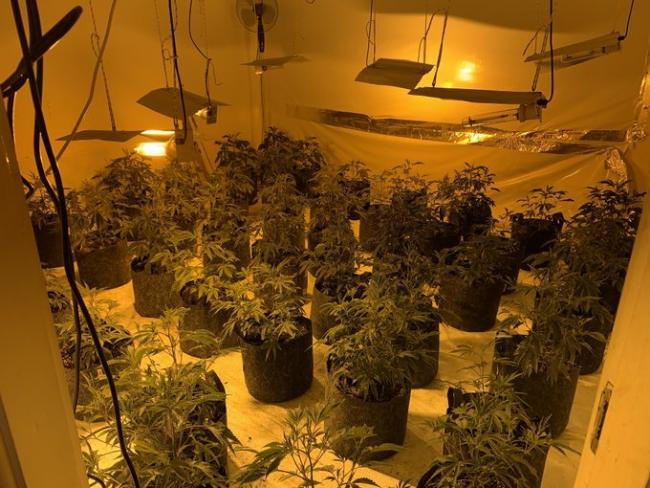 Some of the cannabis plants seized at a house in Park Road, Stretford