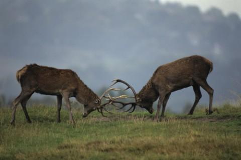 Nature in action on a family holiday deer rut walk at Dunham Massey