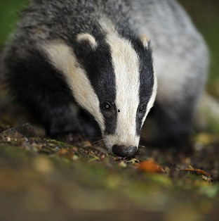 Defra is exploring contraception for badgers as a way of keeping numbers down