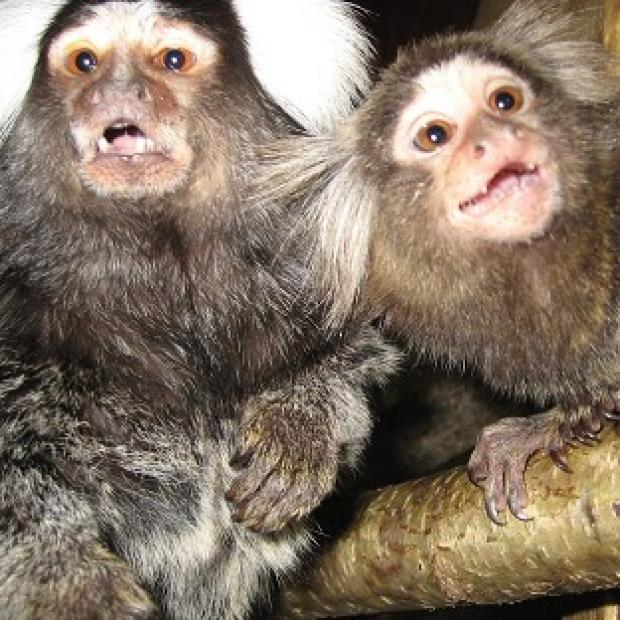 Messenger Newspapers: Marmosets have been used to test ways to reduce the side effects of drug treatment for Parkinson's
