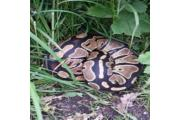 This picture was taken of the python in Partington