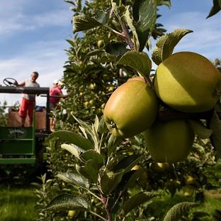 Workers thin trees in the Braeburn apple orchard at Stocks Farm in Worcestershire