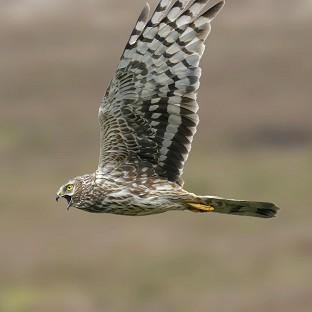 Chris Packham has urged protection for hen harriers
