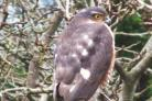 Sparrowhawk by Martin Smart (53907751)