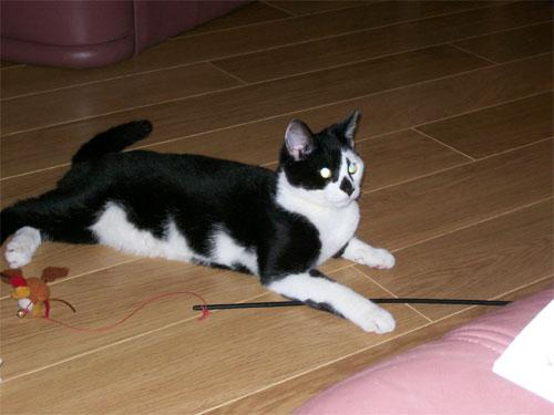 Elvis - black and white shorthair cat