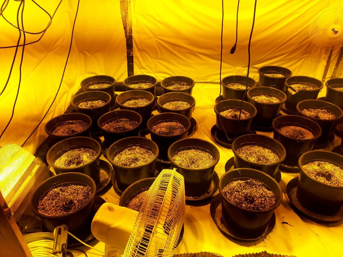 Cannabis plants seized by police.