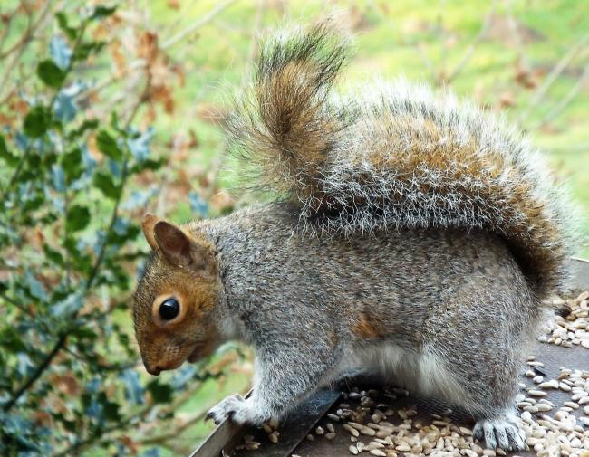 THIS grey squirrel was photographed looking over the edge of the bird table at the A W Boyd Observatory at Rostherne Mere, Cheshire by reader Gill Baker, of Sale.If you have a picture you would like to see published on this page, send it with your details